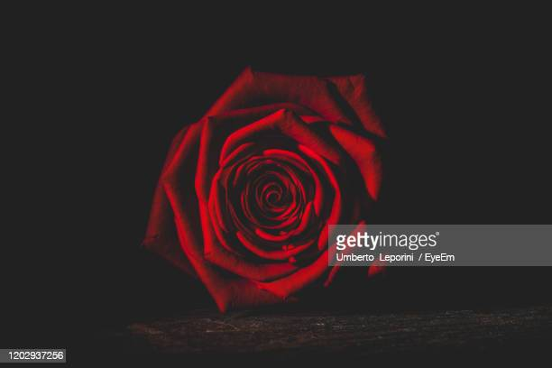 1 326 Red Rose Black Background Photos And Premium High Res Pictures Getty Images