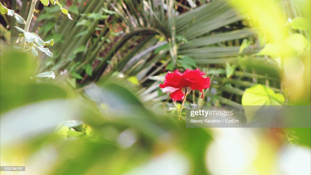Red Rose Among Green Leaves : Foto stock