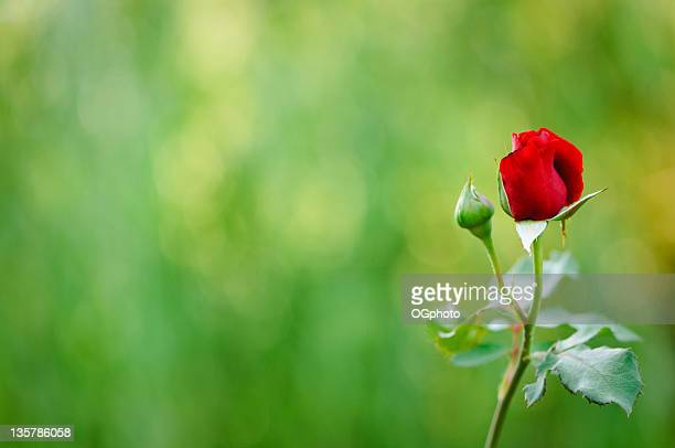 red rose and bud - ogphoto stock photos and pictures