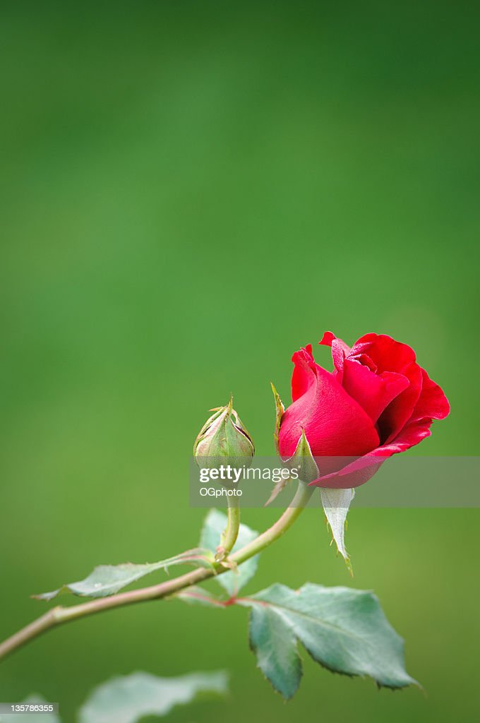 Red rose and bud : Stock Photo
