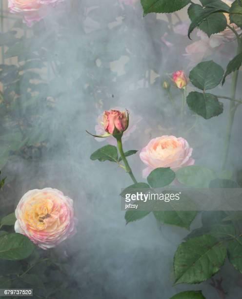 rode roos bloeien in de tuin