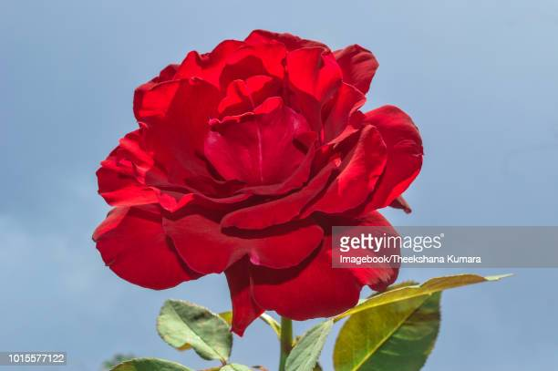 red rose blossom - imagebook stock pictures, royalty-free photos & images