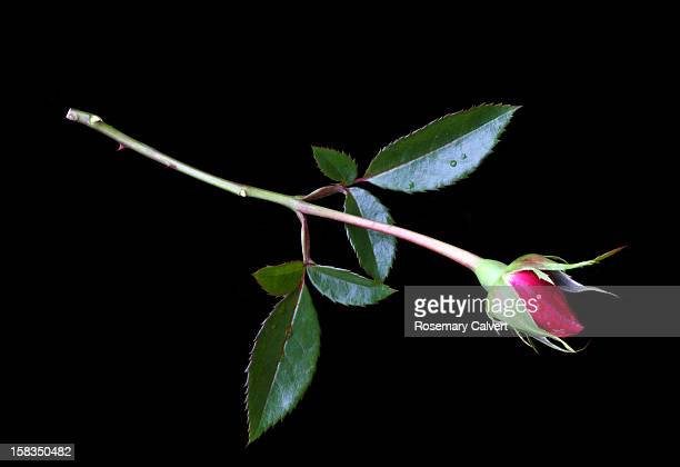 red rose bud lying on black background. - single rose stock photos and pictures