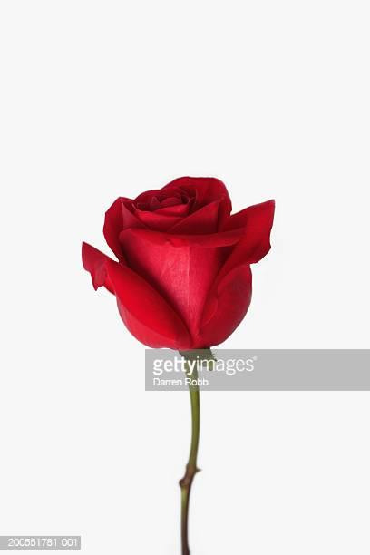 red rose, close-up - rose foto e immagini stock