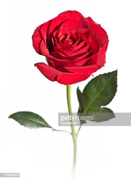 red rose flower isolated on white - red roses stock pictures, royalty-free photos & images