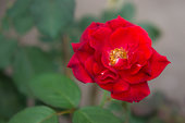 red rose flowers in  the nature garden , flower of love in the nice day