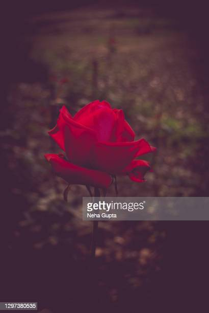 red rose. garden. - neha gupta stock pictures, royalty-free photos & images