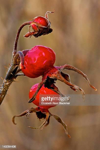 Red rose hips