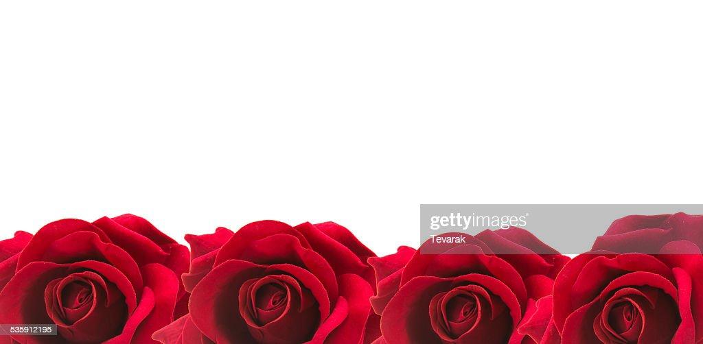 Rosa vermelha isolada no fundo branco. : Foto de stock