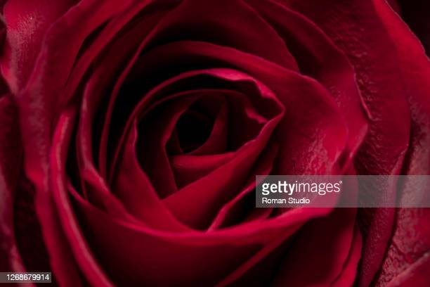 red rose macro - anniversary stock pictures, royalty-free photos & images