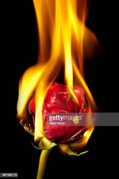red rose on fire