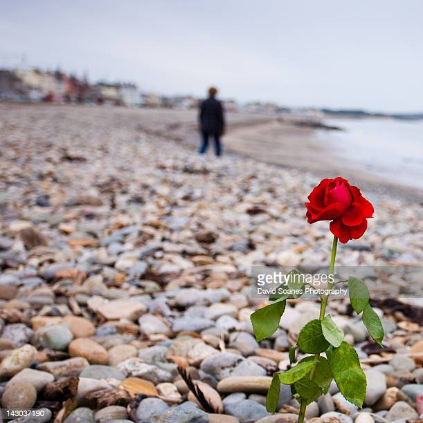 Red rose on rocks with person standing on beach