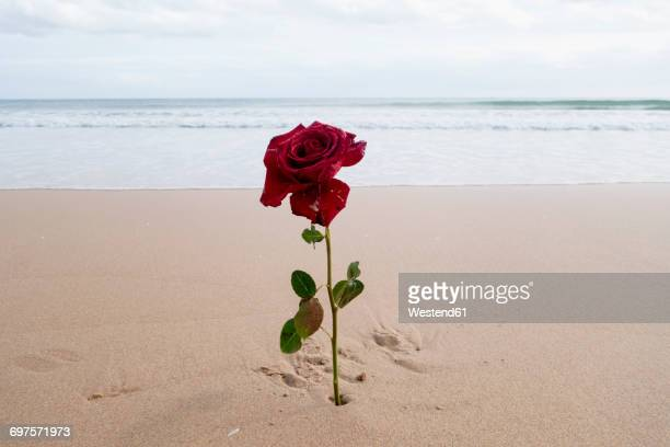 red rose on the beach - single rose stock photos and pictures