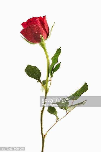 Red rose on white background, studio shot