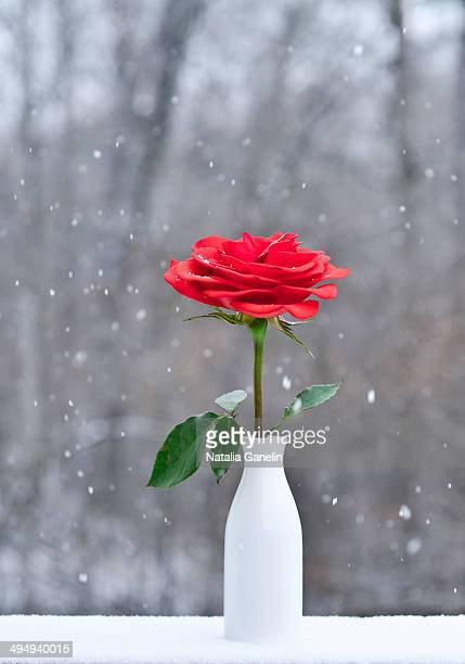 red rose on winter background - single rose stock photos and pictures