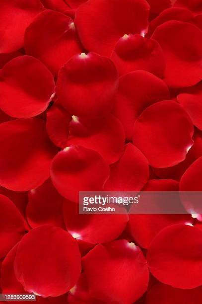 red rose petals background - rose petals stock pictures, royalty-free photos & images