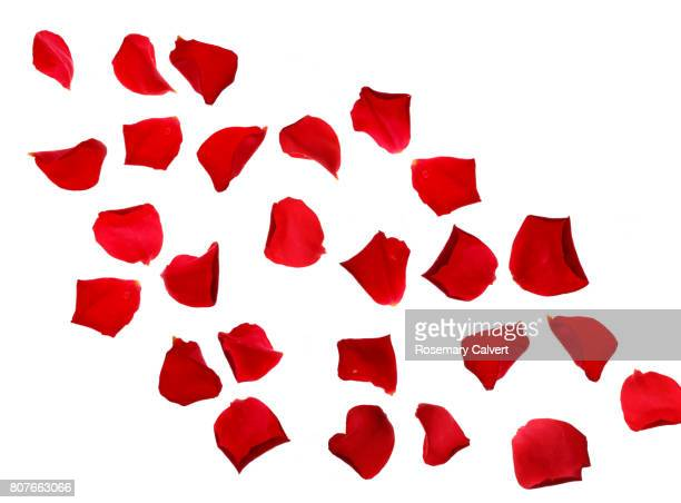 Red rose petals drifting across white background.