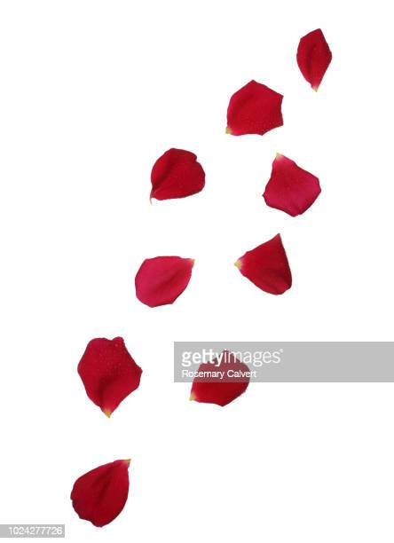 red rose petals with water drops falling. - rose petals stock pictures, royalty-free photos & images