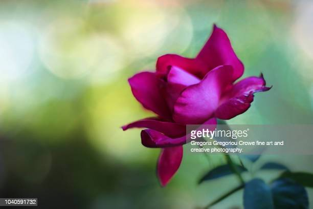 red rose - gregoria gregoriou crowe fine art and creative photography. stockfoto's en -beelden