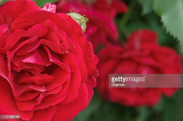 red rose - ogphoto stock pictures, royalty-free photos & images