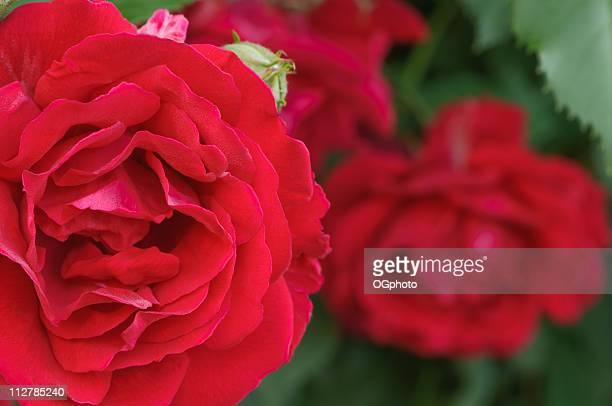 rote rose - ogphoto stock-fotos und bilder