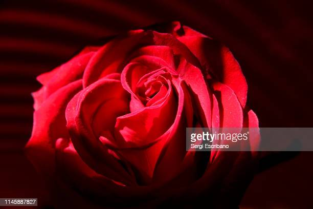 red rose - roses catalonia stock pictures, royalty-free photos & images