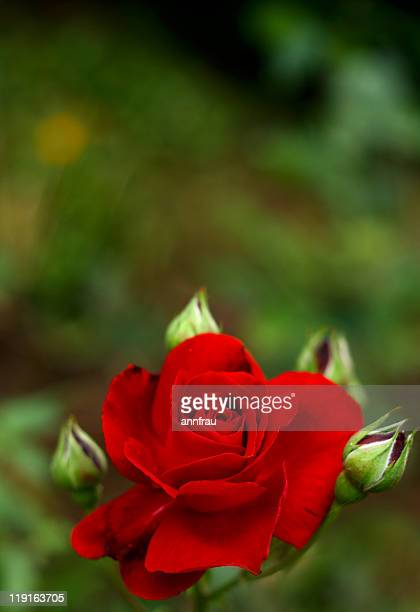red rose - annfrau stock pictures, royalty-free photos & images