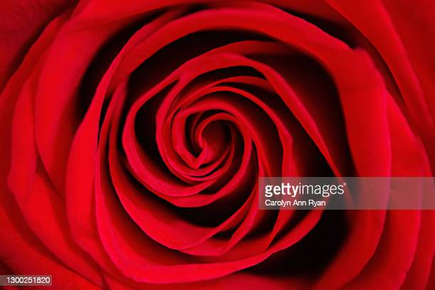 red rose - anniversary stock pictures, royalty-free photos & images