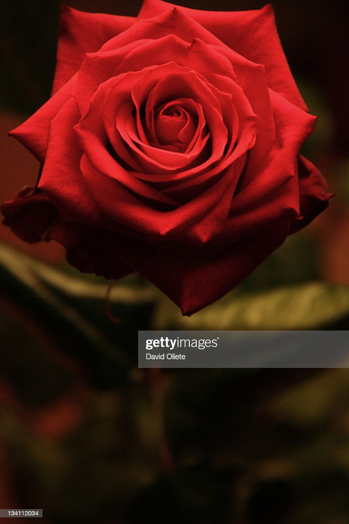 Red rose : Foto de stock
