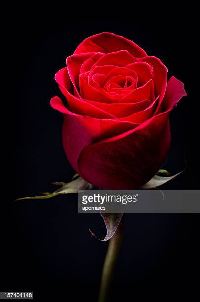 red rose - single rose stock photos and pictures