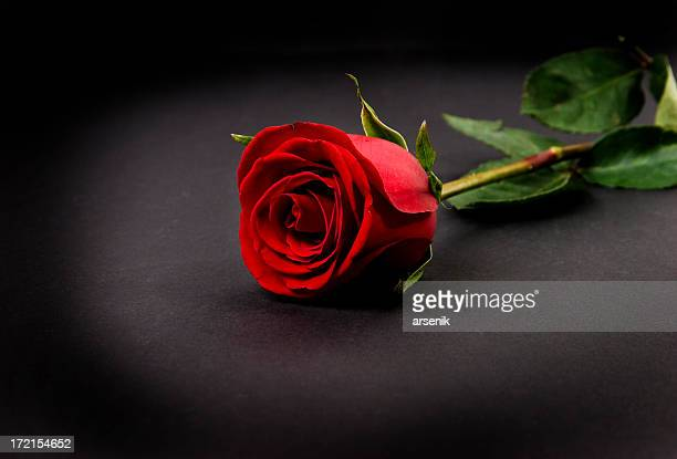 red rose - red roses stock photos and pictures