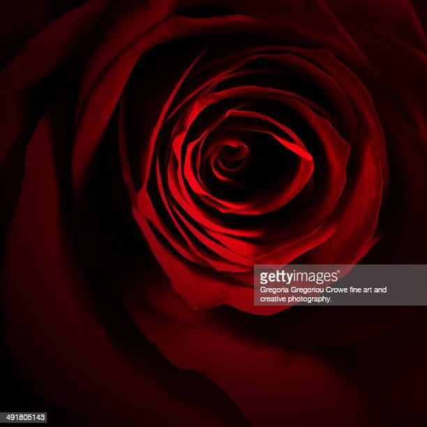 red rose - gregoria gregoriou crowe fine art and creative photography fotografías e imágenes de stock