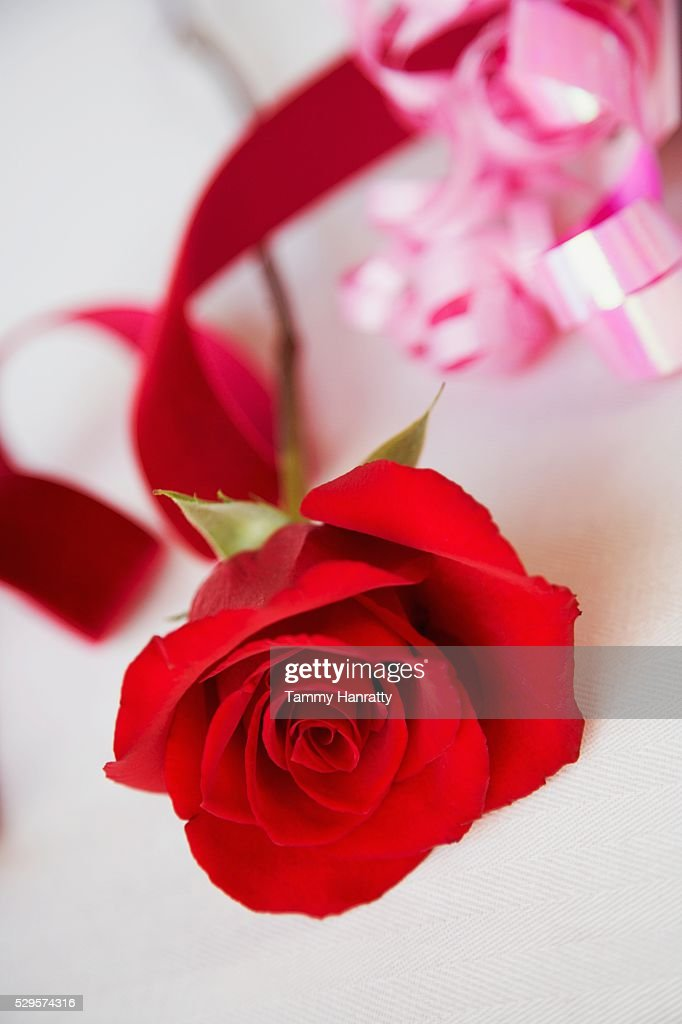 Red Rose : Stock Photo