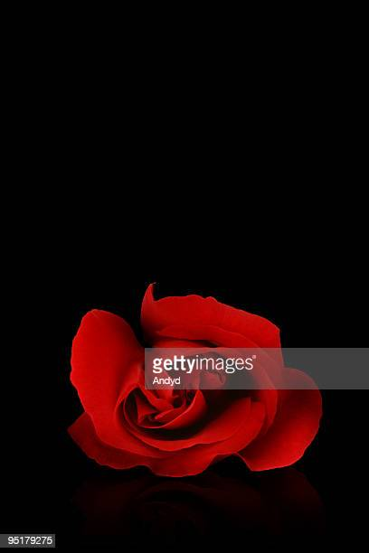 red rose - black rose stock photos and pictures