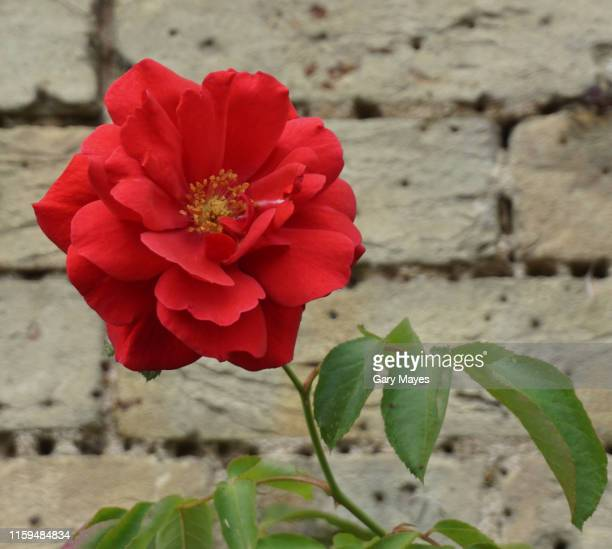 red rose single in garden - red roses garden stock pictures, royalty-free photos & images
