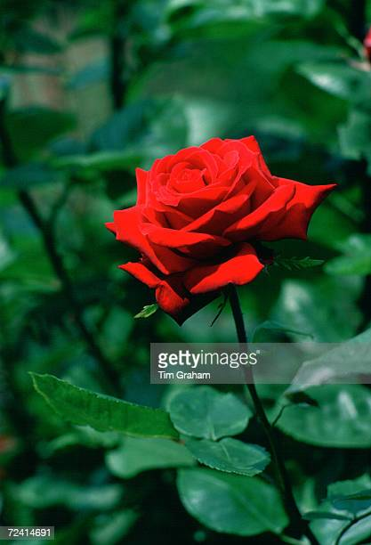 Red Rose United Kingdom