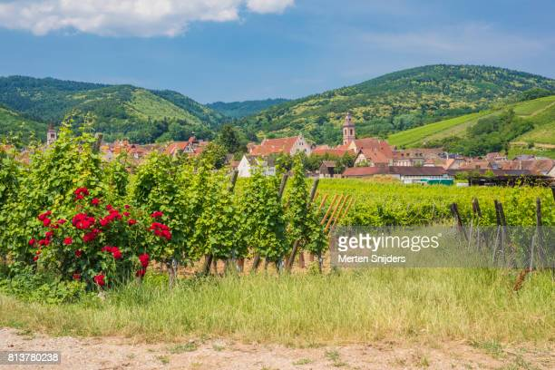 red rosebush at a riquewihr vineyard - rosaceae stock photos and pictures