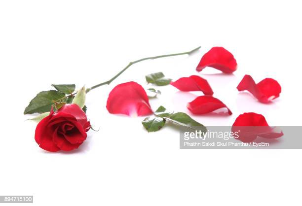 Red Roses Against White Background