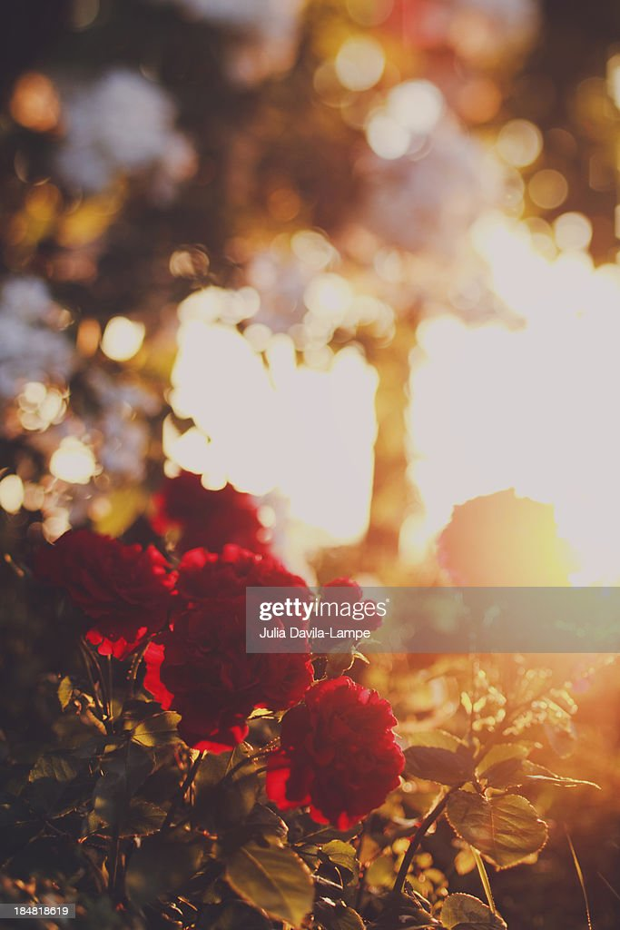 Red roses at sunset : Stock Photo