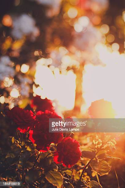 red roses at sunset - julia rose stock photos and pictures