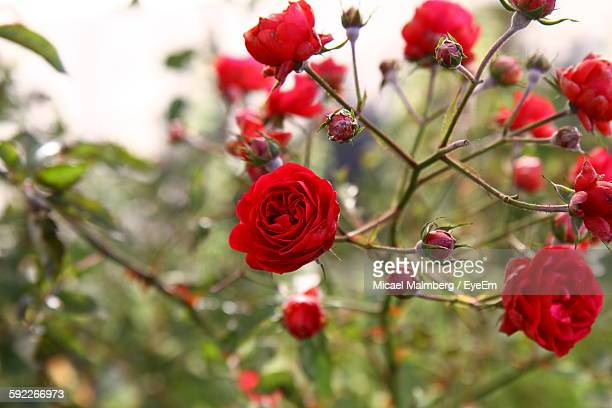 red roses blooming on plant in backyard - red roses garden stock pictures, royalty-free photos & images