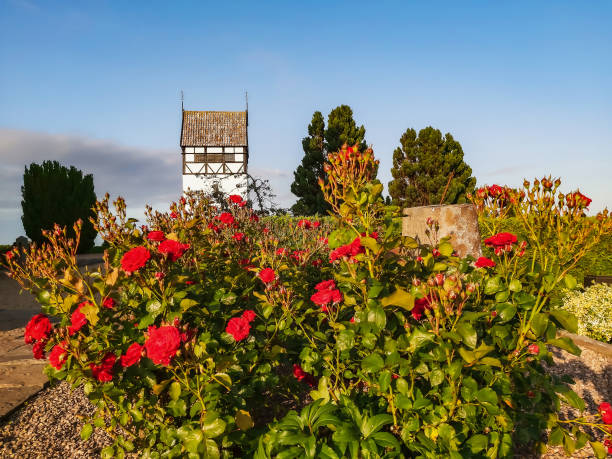 Red roses blossoming in front of St. Paul's Church (Sankt Povls Kirke) bell tower built c. 1248, Bornholm island, Denmark