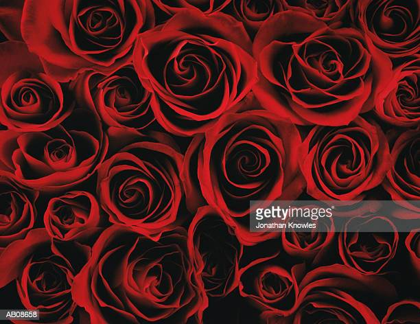 red roses, close-up - red rose stock pictures, royalty-free photos & images