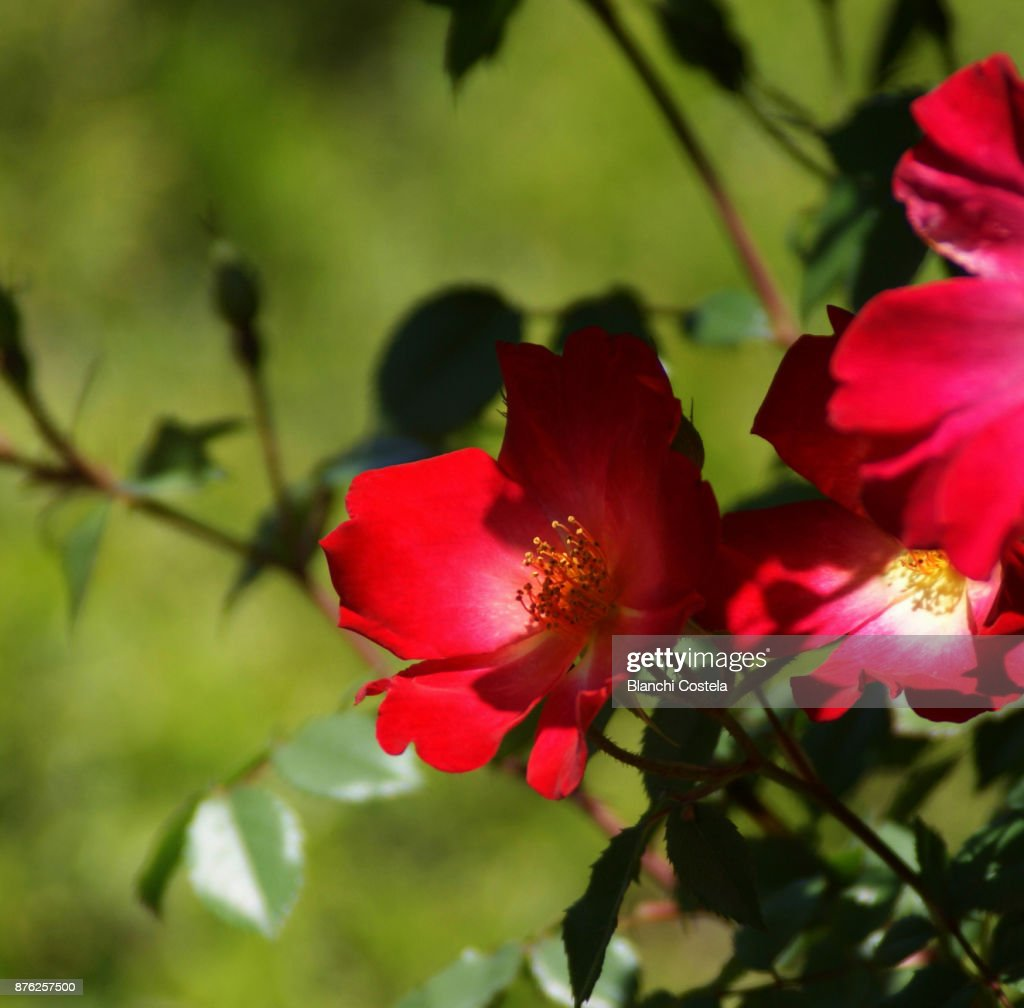 Red roses in nature : Stock Photo