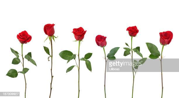 red roses (xxl) - red roses stock pictures, royalty-free photos & images