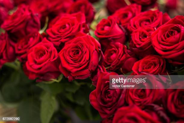 red roses - roses catalonia stock pictures, royalty-free photos & images