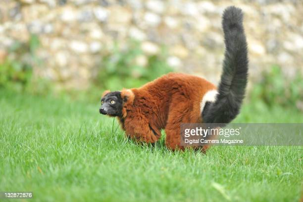 A red ruffed lemur at Marwell Zoo Winchester April 30 2010