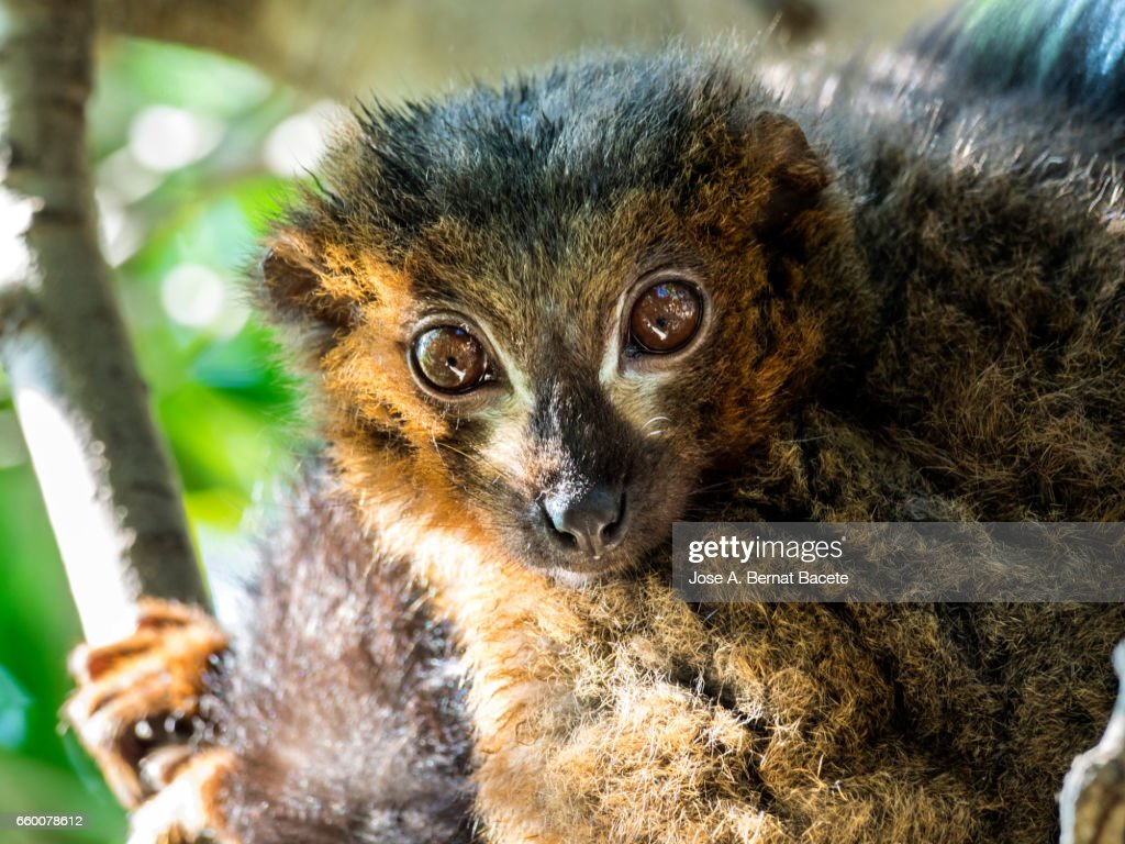 Red ruffed lemur eyes close up on a tree. : Stock Photo