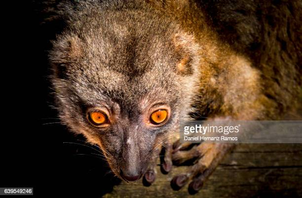 Red ruffed lemur eyes close up with black background Varecia rubra
