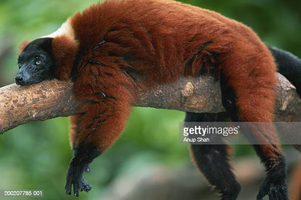 red ruffed lemur (varcia variegata) lying on branch, captive, madagascar - lemur stock photos and pictures